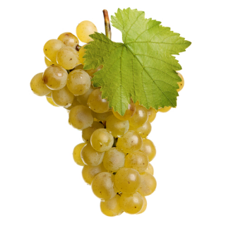 Vitis vinifera fruit in dogs (SA37)