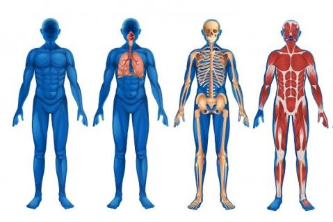 Basic Human Anatomy and Physiology