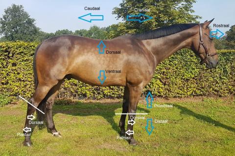 M2 Anatomie en Fysiologie Paard (NLPM2)