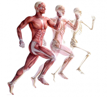The Musculo-Skeletal System (Includes Homeopathic Clinical Tips) (HAMSK-001)